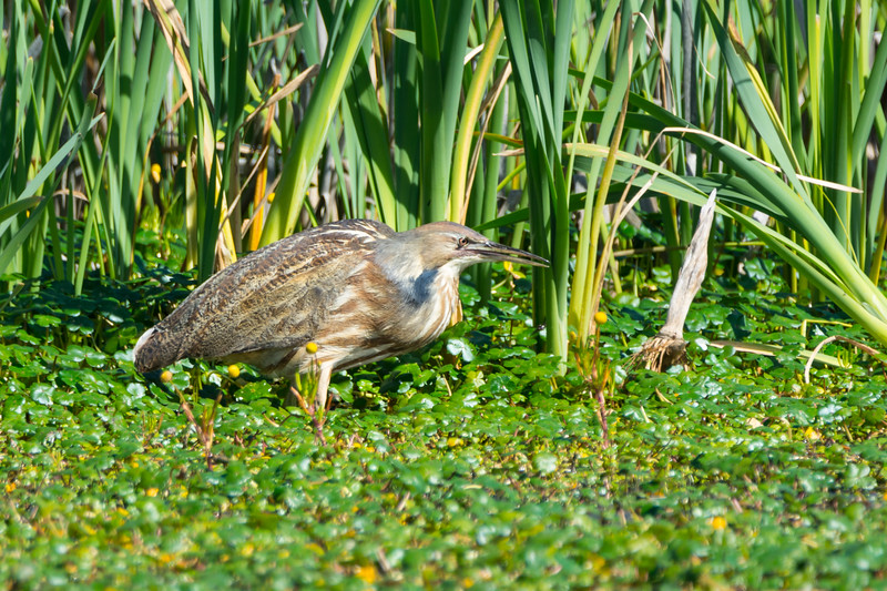 An American Bittern (Botaurus lentiginosus) foraging at the Humboldt Bay National Wildlife Refuge just south of Eureka, California, April 2017. [Botaurus lentiginosus 027 HBNWR-CA-USA 2017-04]