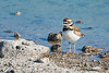 Killdeer (Charadrius vociferous) at Henderson Bird Viewing Preserve in Las Vegas,  April 2017. [Charadrius vociferous 005 HBVP-NV-USA 2017-04]