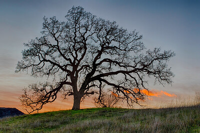 Mighty Oak at sunset