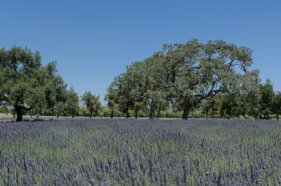Lavender Farm, Los Olivos, CA