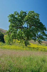 Oak tree with field of mustard blooms