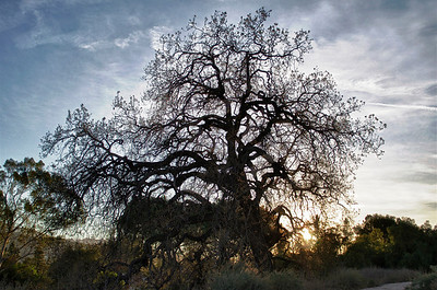Sun setting behind a large oak tree