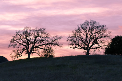 Bare oaks during a winter sunset