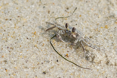 Atlantic Ghost Crab (imm)