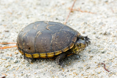 Eastern Mud Turtle
