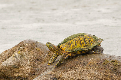 Texas Red Eared Slider