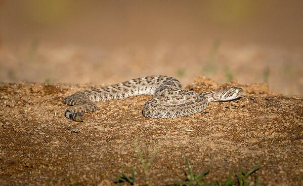 Western Diamondback Rattlesnake, juvenile