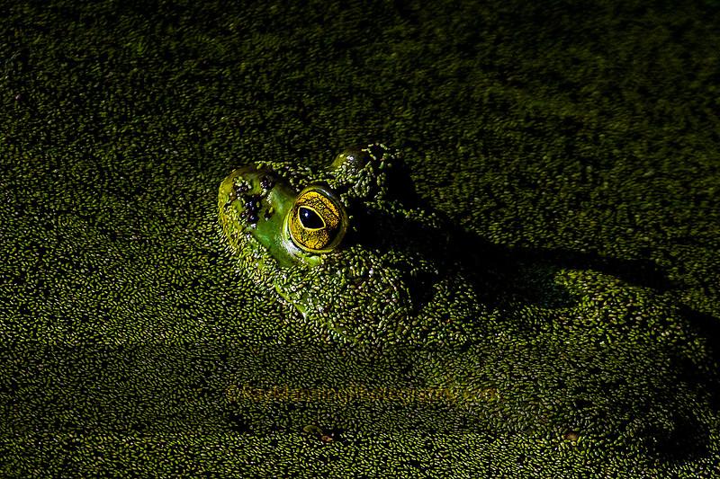 Bullfrog in Duck Weed Soup