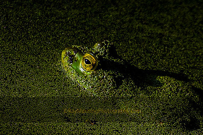 Bullfrog in Duck Weed Soup