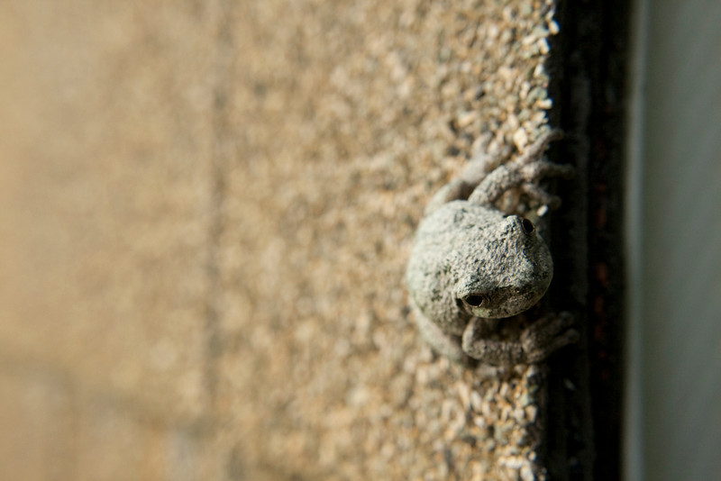 Neat little toad on the roof of our shed.  He was camouflaged perfectly to that roofing!