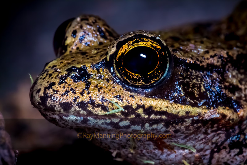 Northern Red-legged Frog Eye