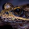Northern Red-legged Frog Eye