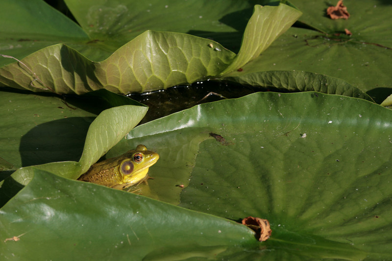 Frog hanging out in the lily pads at Crooked Lake.