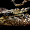 Sailfin lizard (Hydrosaurus sp)