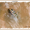 Leopard Frog - River Bourgeois, Cape Breton, NS