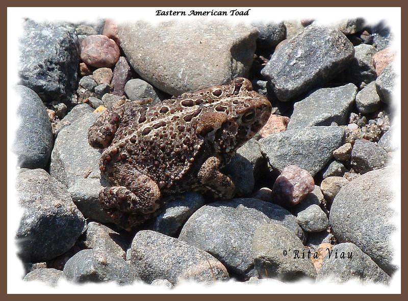 Eastern American Toad -