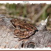 Wood Frog - May 19, 2013 - River Bourgeois, Cape Breton, NS