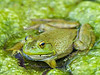 American Bullfrog,<br /> Aransas National Wildlife Refuge, Texas