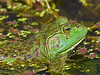 American Bullfrog,<br /> Nordheim, Texas