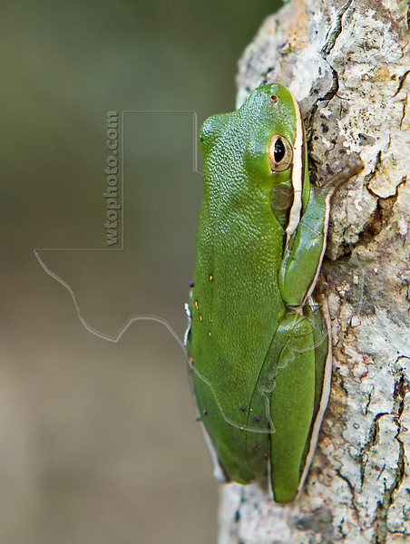 Tree Frog,<br /> San Bernard Wildlife Refuge, Texas