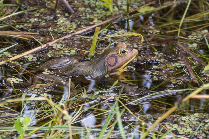 Date: 11/8/2015<br /> Location: Viera Wetlands near Melbourne, FL