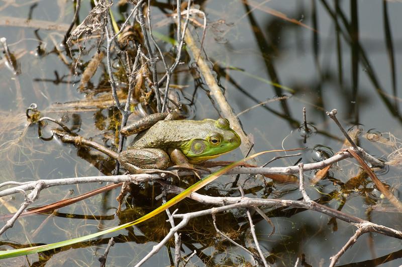 Frog (6) - Trustom Pond NWR - Charlestown Rhode Island