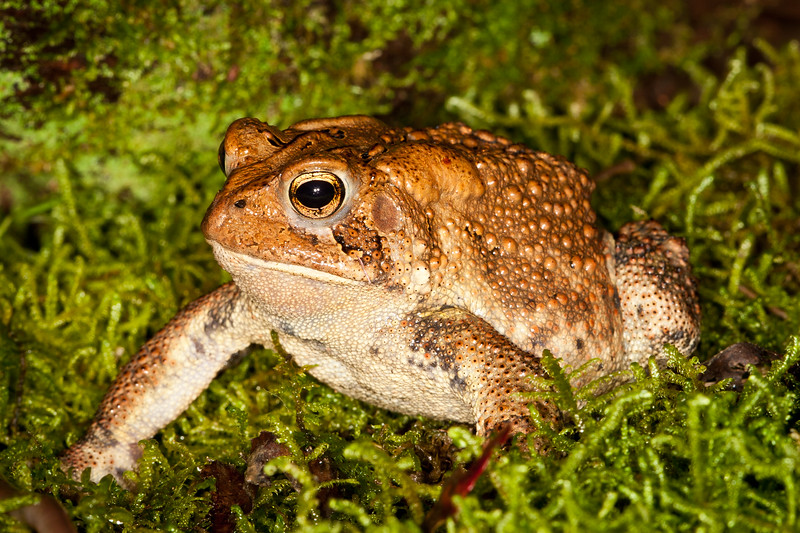 Mr. Toad<br /> American Toad, Mountain Meadows, Bedford County, PA