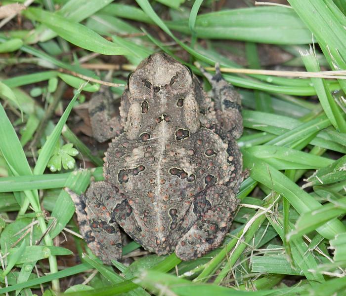 Fowler's Toad Anaxyrus fowleri