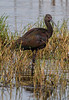 White-faced Ibis?
