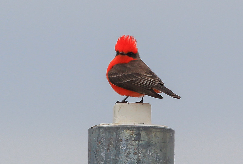 Vermillion Flycatcher.