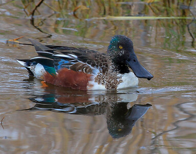 Northern Shoveler male.