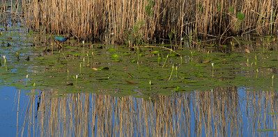 First Gallinule sighting of the day occurred before we even made the turn onto the first leg of Shoveler Pond Loop.