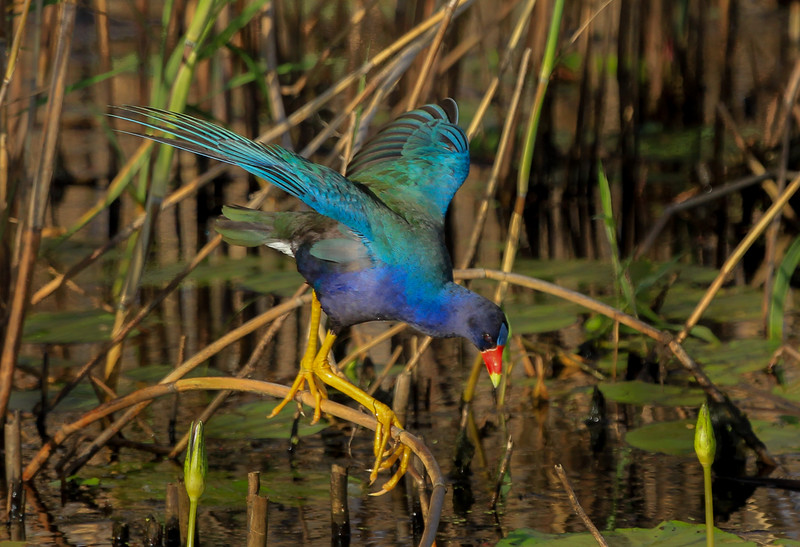 Gallinules will climb up a tall reed for the purpose of having it lay down for them to use as a perch for feeding on the water surface.