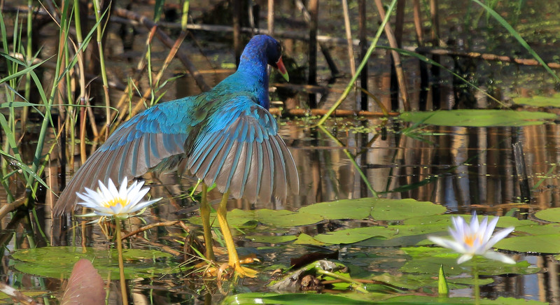 Purple Gallinule sunning.