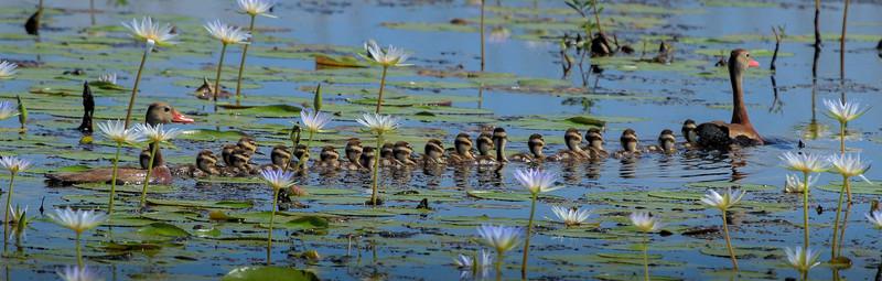 A case of ducks.