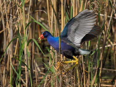 Gallinule from previous sequence as it stabilized on the new perch.