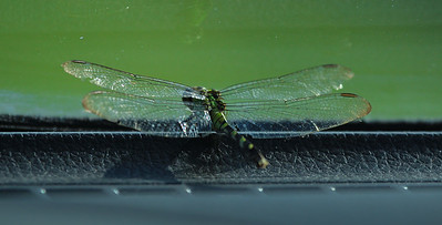 A Green Snaketail Dragonfly landed on the inside front dashboard of Aubrey's car and stayed for a while.