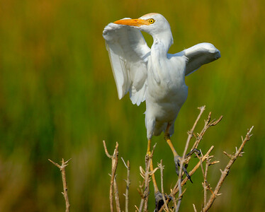 Cattle Egret on second leg of Shoveler Pond motoring trail-Anahuac NWR