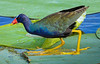 Purple Gallinule readies for a jump.