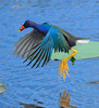 Purple Gallinule jumps between Lily Pads