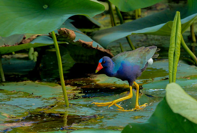 Adult Purple Gallinules are over a foot long but only weigh about 8 ounces