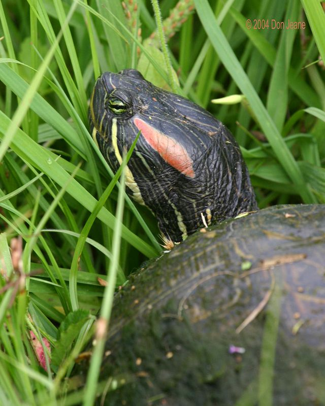 Red Eared Turtle.