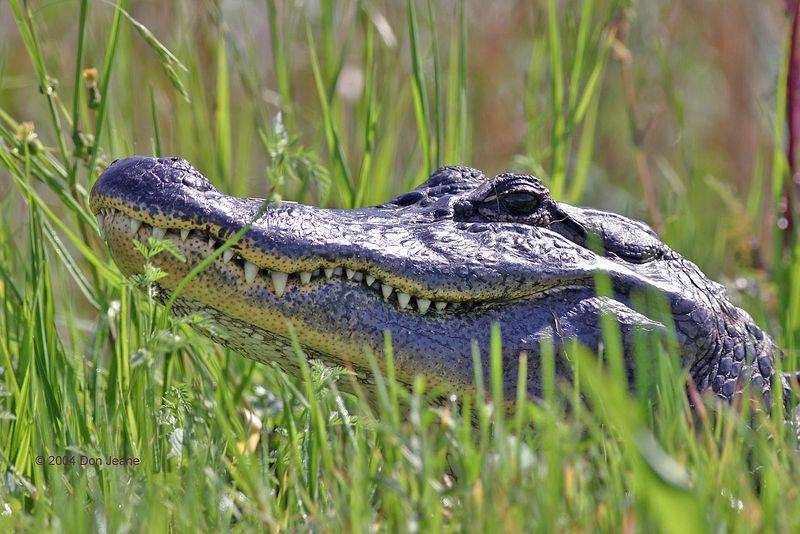 American Alligator - lots of these around.