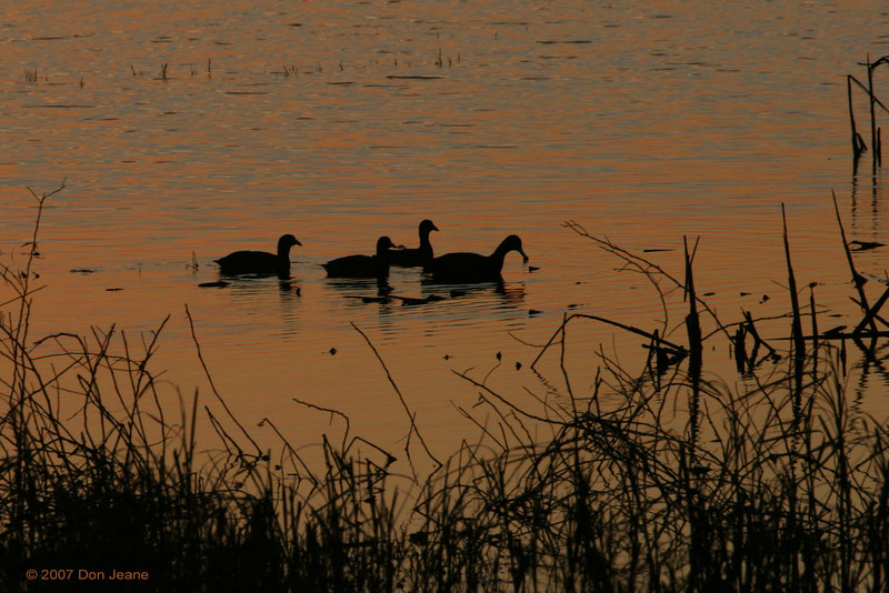 Coots, Shoveler Pond - Jan, 2007.
