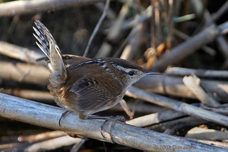 Marsh Wren - Jan, 2007.