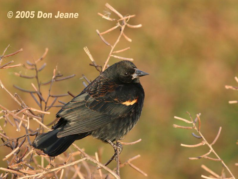 Male Red-winged Blackbird - Jan 2005.
