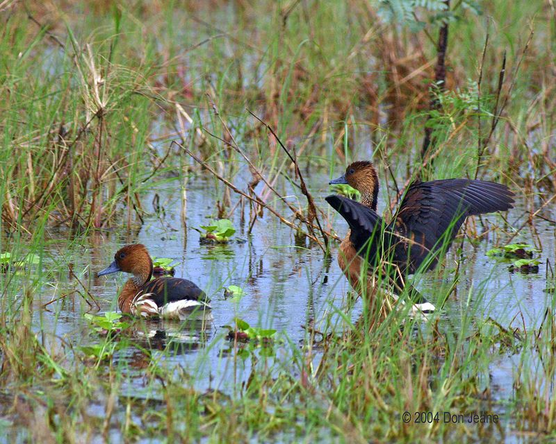 Fulvous Whistling-duck - Apr 2004.