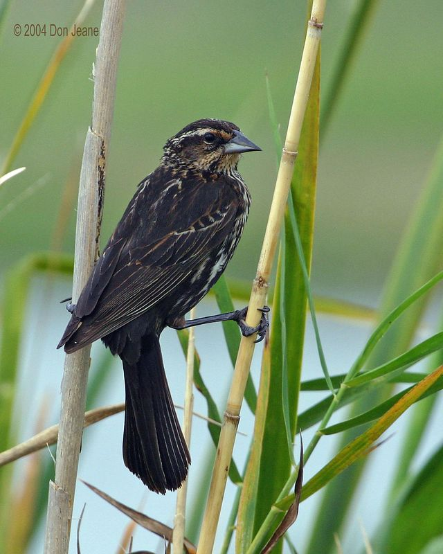 Female Red-winged Blackbird - May 2004.