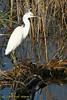Snowy Egret - Jan, 2007.