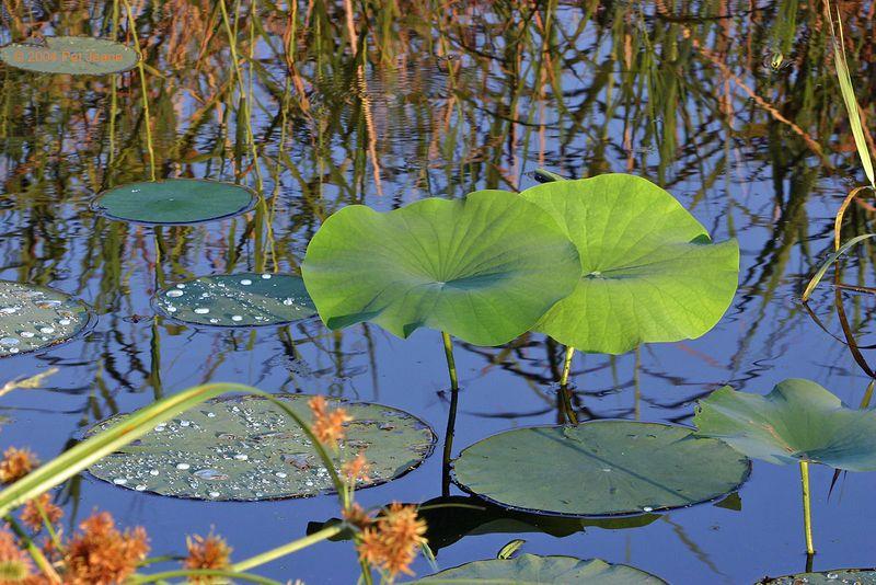 Lily Pads, Shoveler Pond - Sept 2004.
